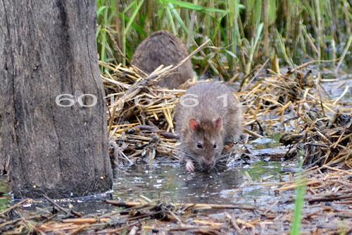 Deratyzacja szczurów Pruszków