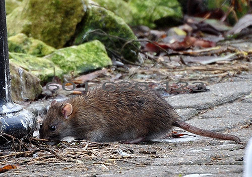 Zwalczanie szczurów Pruszków